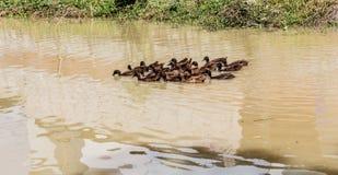 Kaczek pływać Zdjęcie Royalty Free