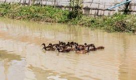 Kaczek pływać Zdjęcia Royalty Free
