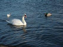 Kaczka, łabędź i seagull, Fotografia Stock