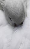 kaczka biel Fotografia Stock