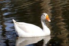 kaczka biel zdjęcie stock