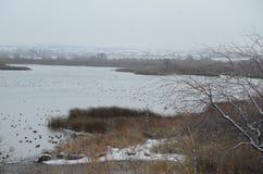 Kaczka derby, Śnieżny dnia szczegół, Yakima delta, Richland, Waszyngton zdjęcia stock