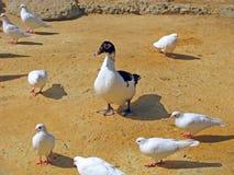 Kaczka i gołębie Fotografia Stock
