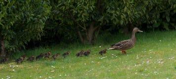 Kaczka i kaczątka Zdjęcia Stock