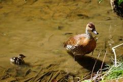 Kaczka i kaczątko Zdjęcie Stock