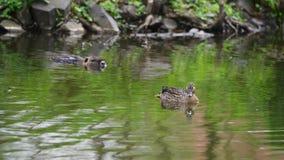 Kaczka i kaczki dopłynięcie w stawie