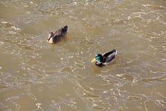 Kaczka i kaczor pływamy wzdłuż kursów wiosny rzeka i kaczorów spojrzeń przy kaczką obraz royalty free