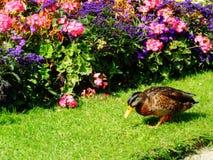 Kaczka i kwiaty Obrazy Stock