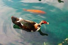 Kaczka i ryba Obrazy Royalty Free