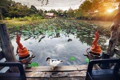 Kaczka i staw z lotosem w Tajlandia Obrazy Royalty Free
