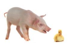 Kaczka i świnia Obraz Stock