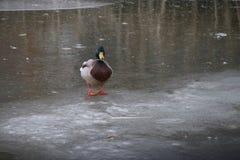 Kaczka jest na zamarzniętym lodowym gmeraniu dla wody w holandiach Zdjęcie Stock
