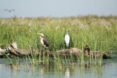 Kaczka kormoran i Aigret, Obraz Royalty Free