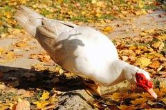 Kaczka lub Gąska? Zdjęcia Royalty Free