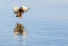 Kaczki lądowanie Na jeziorze Fotografia Royalty Free