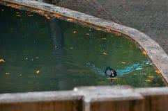 Kaczka na błękita parka jeziorze obraz royalty free