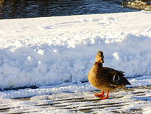 Kaczka na brzeg podczas zimnej zimy Fotografia Stock