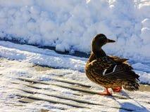 Kaczka na brzeg podczas zimnej zimy Zdjęcia Royalty Free