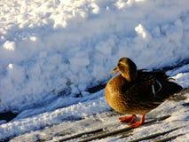 Kaczka na brzeg podczas zimnej zimy Obrazy Royalty Free