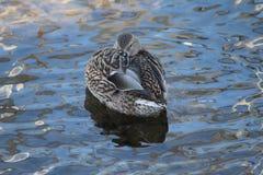 Kaczka Na Jeziornym Okanagan Zdjęcia Royalty Free