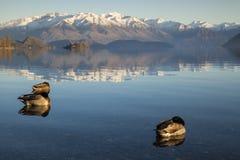 Kaczka na Jeziornym Wanaka w Nowa Zelandia Obrazy Stock