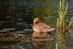 Kaczka na jeziorze chce zaczynać pływać Obrazy Royalty Free
