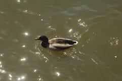 Kaczka na Potomac Rzeczny Waszyngton, d C Fotografia Stock