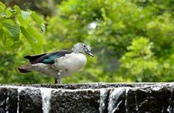 Kaczka na siklawie zdjęcie royalty free