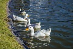 Kaczka na wodzie z przyjaciółmi Obraz Royalty Free