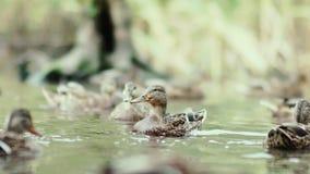 Kaczka nurkuje pod wodą nurkuje śmiesznego waterfowl zbiory