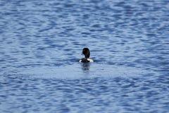 Kaczka pływa daleko od z czochrami na błękitne wody zdjęcie stock