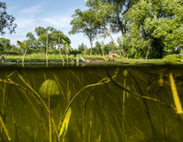 Kaczka pływa w Jeziornym widoku pod wodą na algach i wacie Zdjęcie Royalty Free