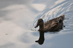 Kaczka pływa Obrazy Royalty Free