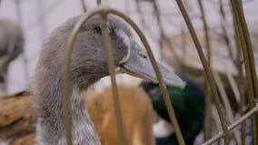 Kaczka patrzeje wokoło w klatce zbiory