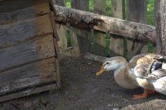 kaczka Piżmowa Fotografia Stock