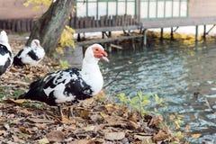 kaczka Piżmowa Zdjęcie Stock