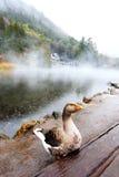 Kaczka przy jeziorem w Yufuin Obraz Stock