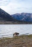 Kaczka przy Jeziornym Pearson Arthur przepustki parkiem narodowym, Nowa Zelandia Obrazy Stock