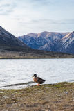 Kaczka przy Jeziornym Pearson Arthur przepustki parkiem narodowym, Nowa Zelandia Obrazy Royalty Free