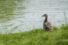 Kaczka przy krawędzią woda Zdjęcia Royalty Free