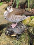 Kaczka siedzi na żółwiu Obrazy Stock
