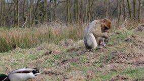 Kaczka spaceru Past Piękny Małpi łasowanie od ziemi - Barbary makaki zbiory