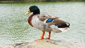 Kaczka stoi bezczynnie jezioro zdjęcie royalty free
