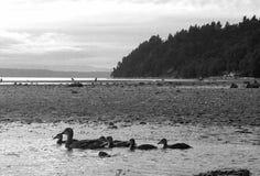 Kaczka strumienia plaży rodzinny marina zdjęcia royalty free