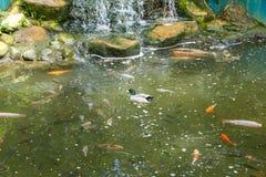 Kaczka unosi się na stawie z ryba Obrazy Stock