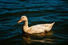 Kaczka w jeziorze Obraz Royalty Free