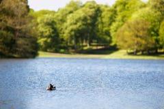 Kaczka w jeziorze zdjęcia royalty free