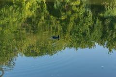 Kaczka w jeziorze Zdjęcie Royalty Free