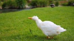 Kaczka w trawie Zdjęcia Royalty Free