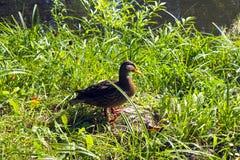 Kaczka w trawie Fotografia Stock